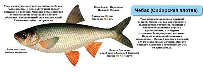 Сибирская плотва-чебак