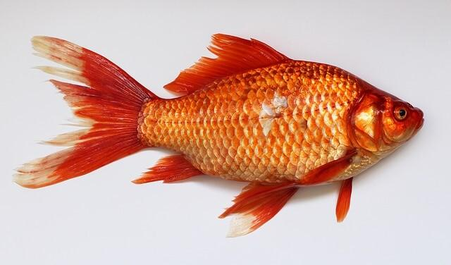 "Карась ""Золотая рыбка"""