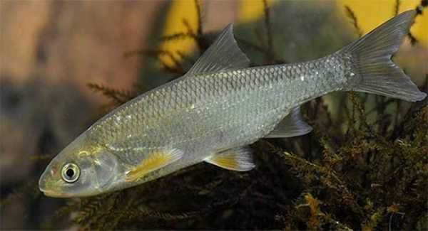 Рыба елец
