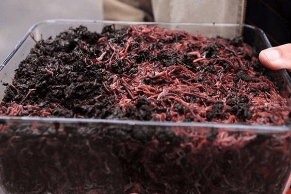 Разведение червей в домашних условиях